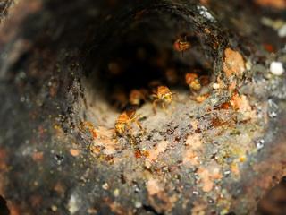 Angelloze bij Partamona testacea bouwt zijn nest in dat van een mier
