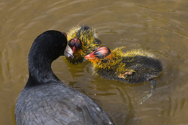 Coot chicks' ornaments tell parents what age they are