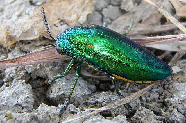 jewel beetle is invisible in vegetation