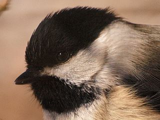 black-capped chickadee encodes threat level in its alarm call