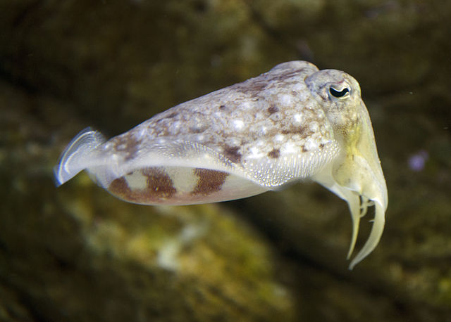 cuttlefish refrains from eating during daytime when the night will bring better food