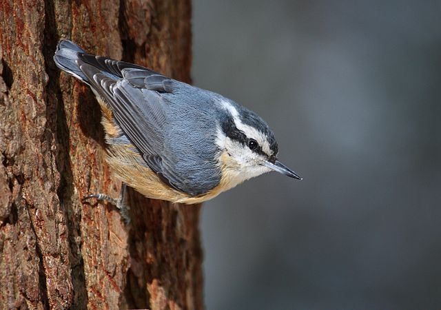 red-breasted nuthatch eavesdrops on black-capped chickadee