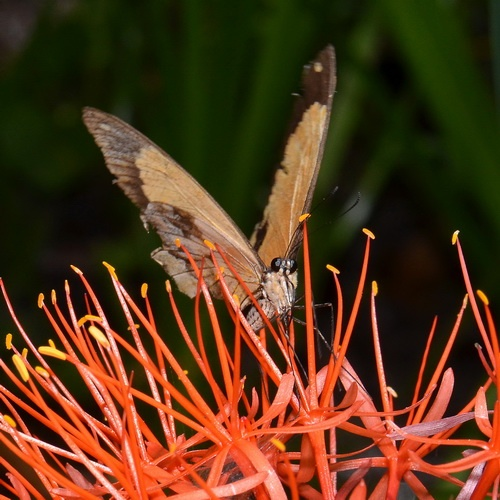 Fireball lily is pollinated by large butterflies