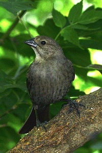 Brown-headed cowird parasites on nests of songbirds