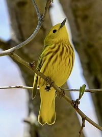 Yellow warbler utters specific alarm call when brood parasite is present