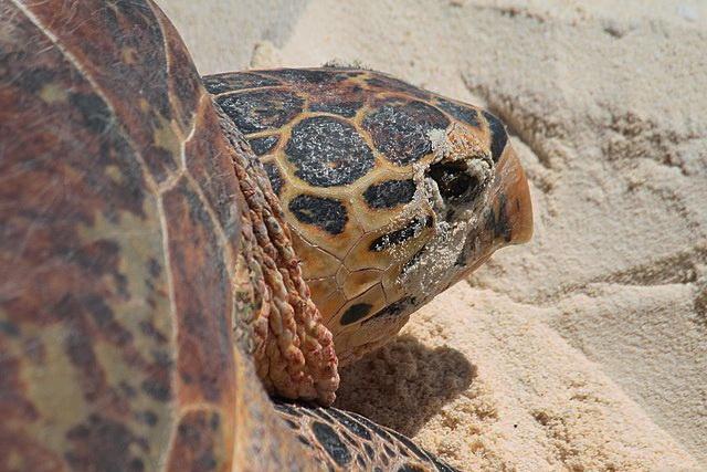 sea turtle creates decoy nests