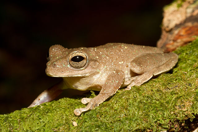 pug-nosed tree frog males call almost synchronously