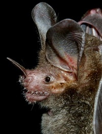 fringe-lipped bat is susceptible for auditory illusion