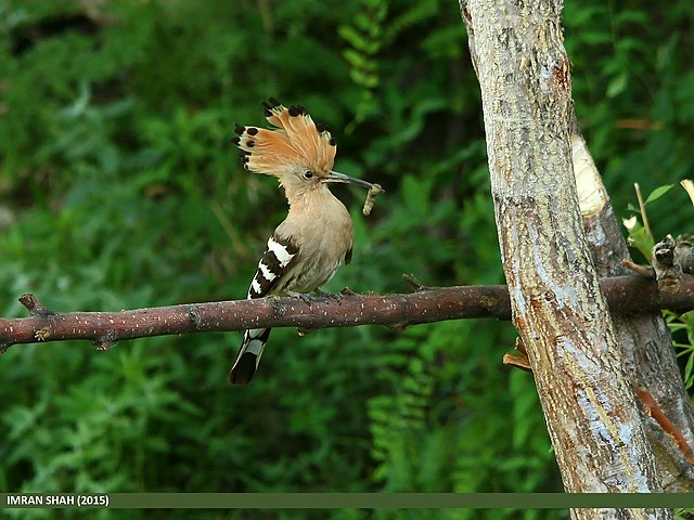 Hoopoe male will feed its partner when she paints the eggs brown
