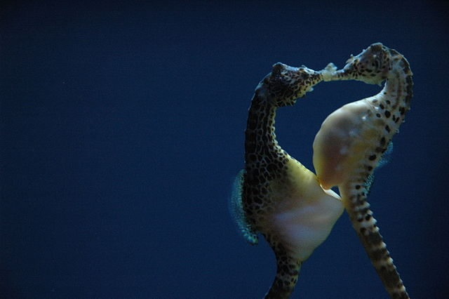 Pregnant pot-bellied seahorse males provision the embryos