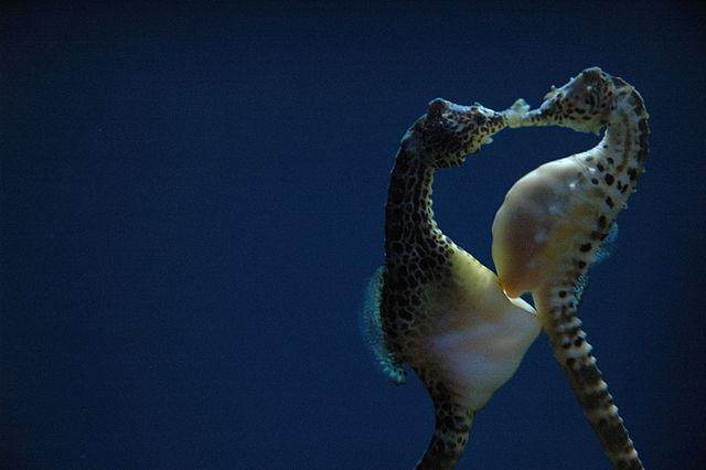 pregnant Hippocampus abdominalis males provision the embryos