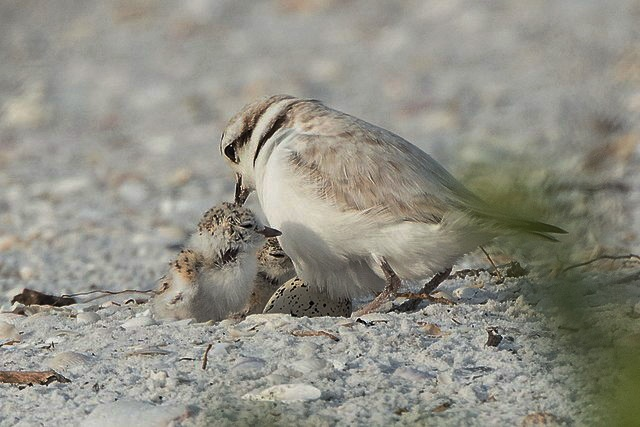 Plovers, including snowy plover, leave their family when successful