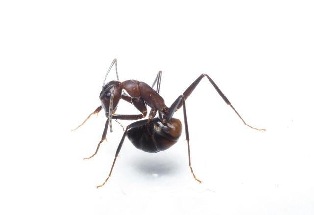 mierenzuur houdt schubmier gezond