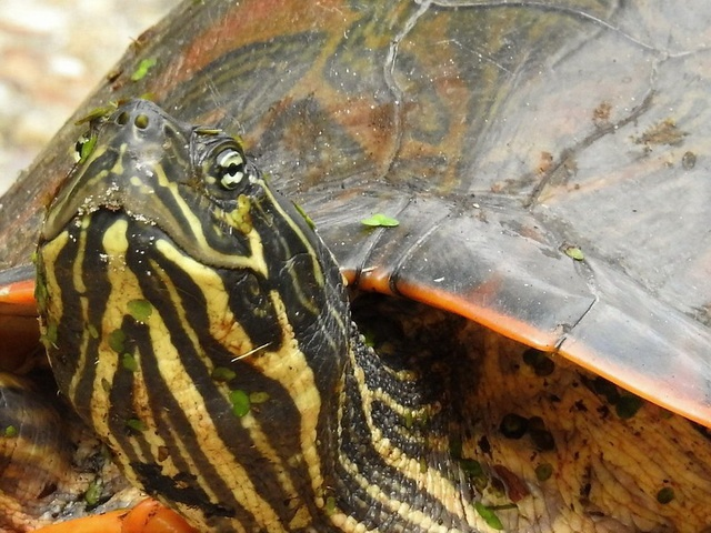 painted turtle male is amiable until he gets older