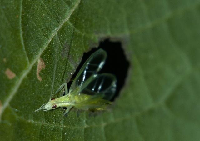 klein mannetje boomkrekel zingt vanuit een gat om het geluid te versterken
