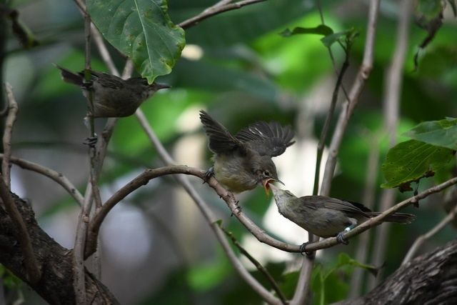 Older Seychelles warbler mother and her young benefit from help