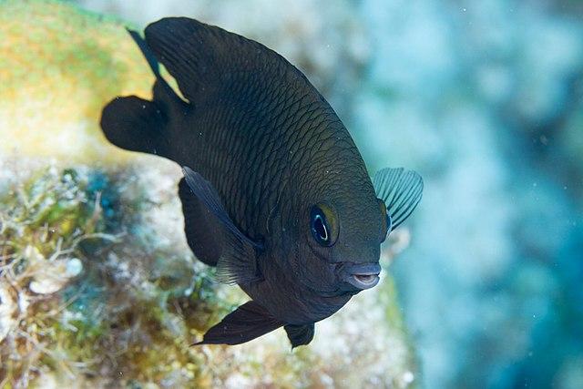 Longfin damselfish grows algae with help of shrimp