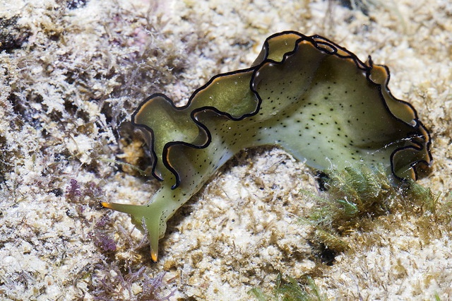 Elysia sea slug can grow new body from head