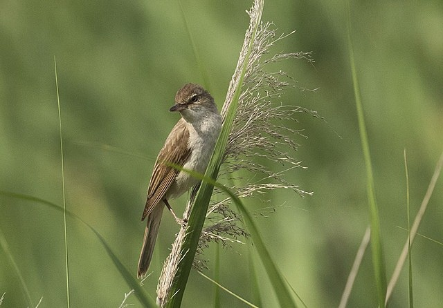 Great reed warbler flies extremely high during migration