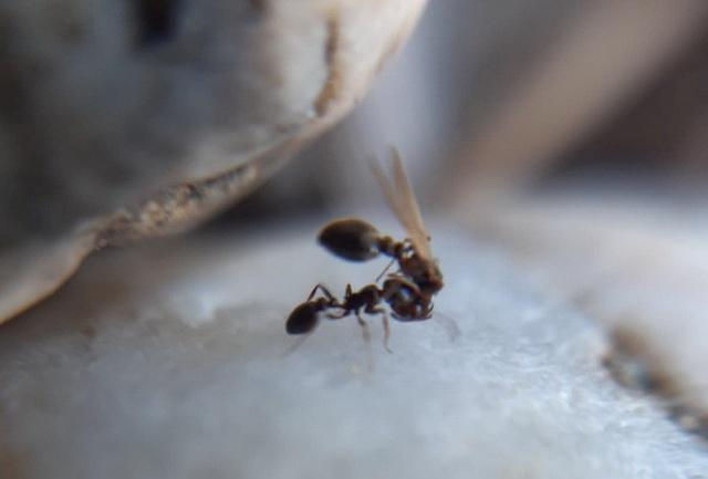 werkster van Cardiocondyla elegans draagt jonge koningin naar ander nest om te paren