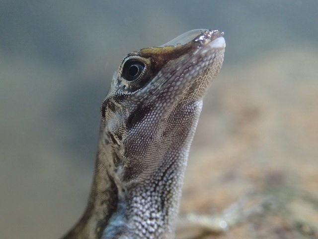 Water anole re-uses exhaled air