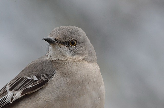 northern mockingbird composes its song carefully