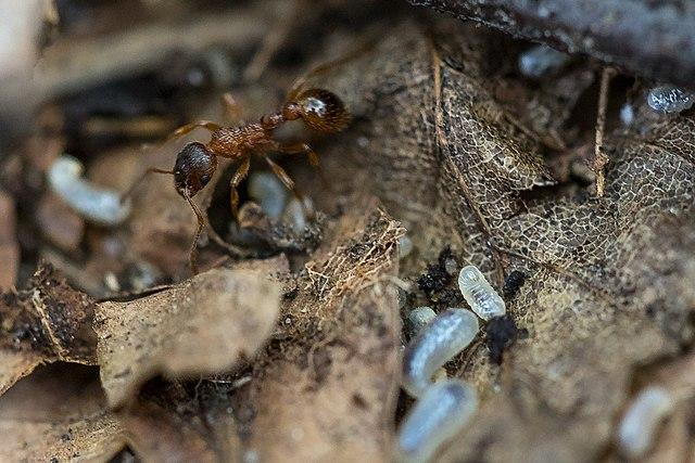 bossteekmier, Myrmica ruginodis brengt broed over naar nest van fluiter