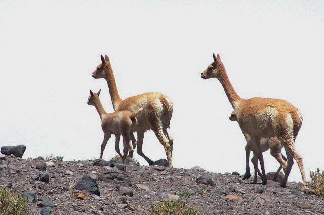 vicuña's plassen en poepen op vaste plaatsen