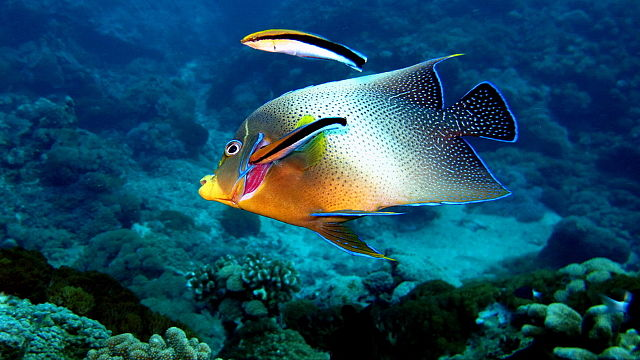 in a bluestreak wrasse pair, a conflict may arise